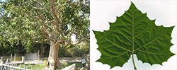 Sycamore tree and leaf