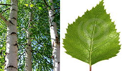 birch trees and leaf