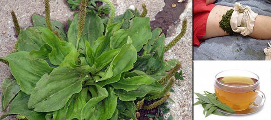This Common Driveway Weed is One of Nature's Most Powerful Survival Plants
