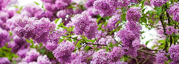 79 edible flowers in north america with pictures ask a prepper lilac edible flower mightylinksfo