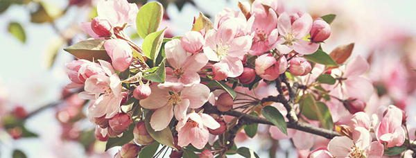79 edible flowers in north america with pictures ask a prepper apple blossoms edible flowers mightylinksfo