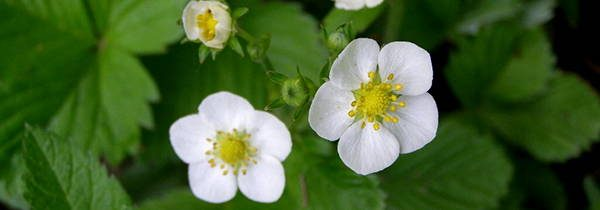 Strawberry Blossoms edible flowers