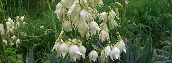 yucca-plant edible flowers