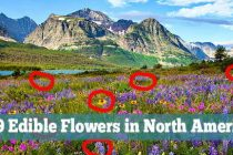 79 Edible Flowers in North America (with Pictures)
