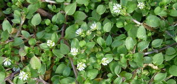 chickweed-winter-edibles