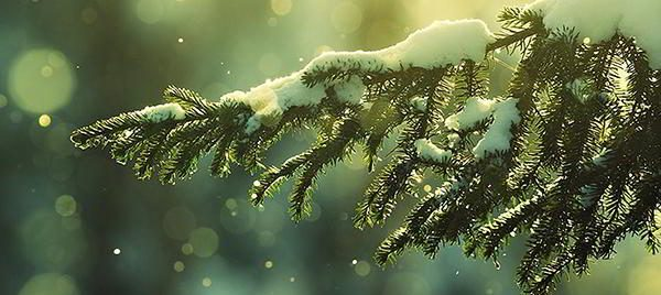 pine-trees-winter
