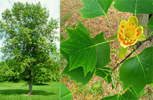 tulip tree native american