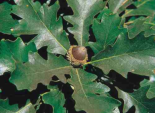 oak Quercus_macrocarpa_USDA