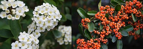 hawthorn bloom and fruits