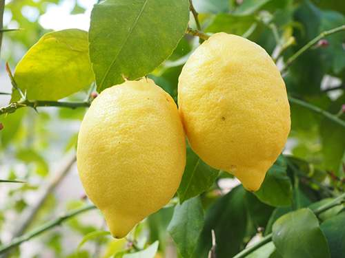 lemons in lemon tree