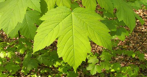 urban edibles 11_maple_acer_tree