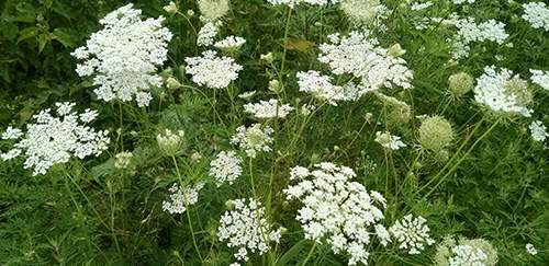 urban edibles 16_Queen_Anne's_Lace_in_Pennsylvania.