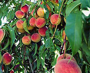 How To Plant Your Orchard To Have Fruits All Year Round