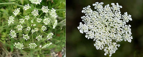 """How To Tell The Difference Between The Healing """"Queen Anne's Lace"""" And Deadly """"Hemlock"""""""