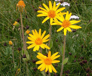 9 Natural Remedies To Heal Wounds Faster - Arnica