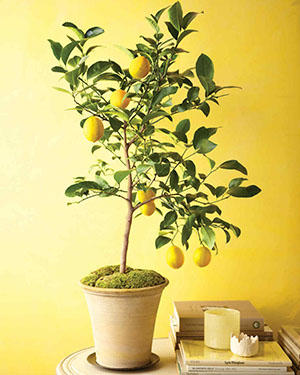 citrus at home