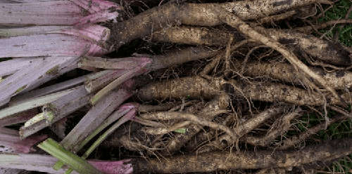 12 Wild Medicinal Plants You Must Harvest This Fall burdock roots