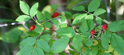 12 Wild Medicinal Plants You Must Harvest This Fall rose hips