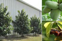 The Cherokee's Favourite Edible Tree (PawPaw)