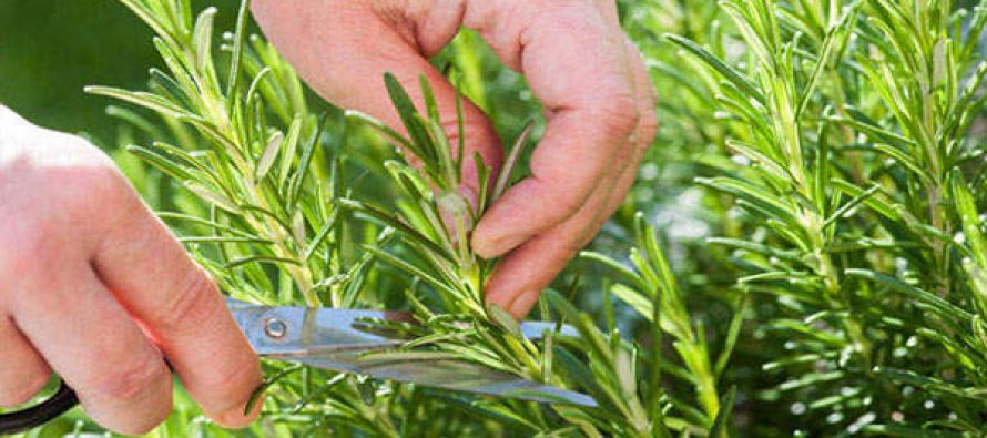 Scientists Find Smelling Rosemary Can Increase Memory By 75%