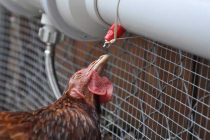 How to Build an Automatic Watering Tube for Chickens