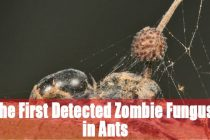 The First Detected Zombie Fungus! in Ants