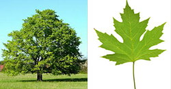 mapple tree and leaf