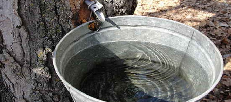 Trees That Can Be Tapped For Sap And Syrup