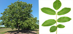 walnut tree and leafs