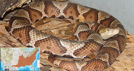 Copperhead identification and map