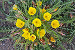 9 evening primrose