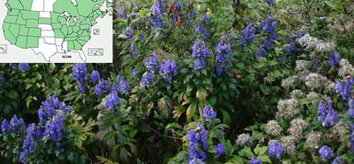 Wolfsbane Aconitum