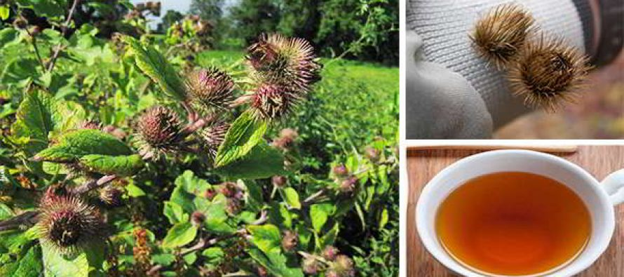 Burdock: The Annoying Weed That Can Save Your Life