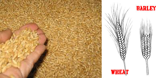 barley for stockpilling