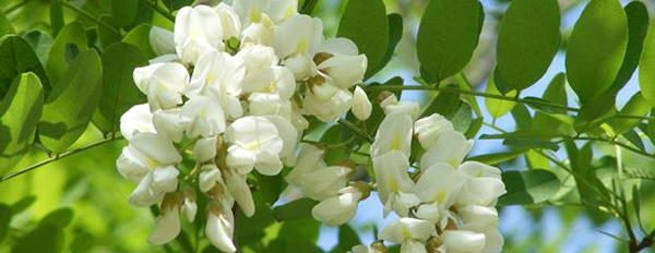 10. Black Locust Riot edible blossoms