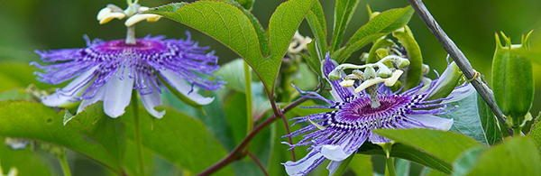 passion-flower tasty flowers