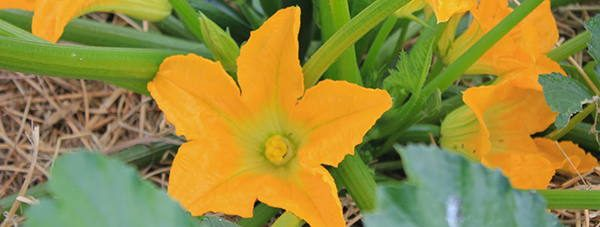 Squash_Blossoms edible flower