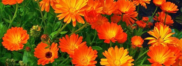 Calendula Edible Flower