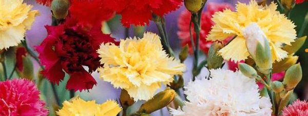 Carnations tasty Flowers
