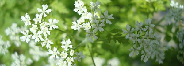 Chervil tasty blossoms