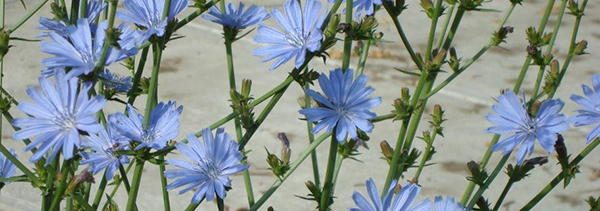 Chicory edible flowers