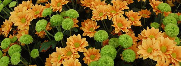 Chrysanthemum Edible Flowers