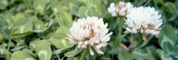 CLOVER edible blossoms