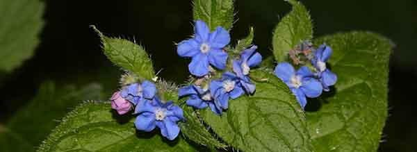 green-alkanet tasty flower