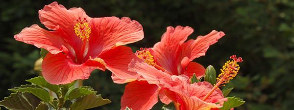 Hibiscus tasty flower