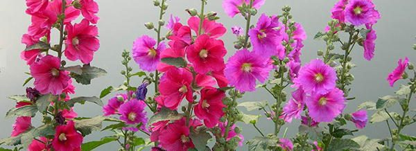 Hollyhock edible flowers