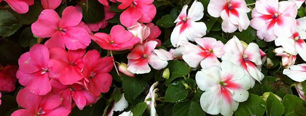 Impatiens edible flowers