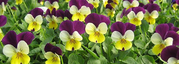 Johnny Jump-Ups edible flower