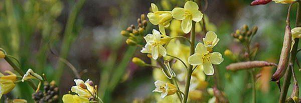 Kale Blossoms