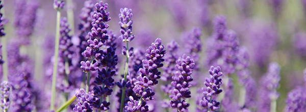 lavender edible flower